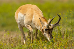 Munch a bunch {Explored} (ChicagoBob46) Tags: pronghornantelope antelope yellowstone yellowstonenationalpark nature wildlife explore explored sunrays5 coth5 ngc