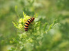 Moth larva (ekaterina alexander) Tags: moth larva burnet sixspot moths caterpilla zygaena filipendulae yellow black stripes toxic cyanide ekaterina england alexander sussex wild nature photography pictures ragwort flower buds
