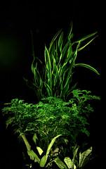_MG_1884.CR2 (jalexartis) Tags: sansevieriatrifasciata motherinlaw'stongue citronella afterdark dark nightphotography night nightshots camranger lighting gardening cedarfarms