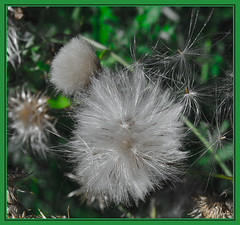 Some see a weed, some see a Wish. (Jmarie999) Tags: dandelion weed white flower