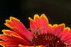 Stuffing it's face :) (aenee) Tags: aenee nikond7100 sigma105mm128dgmacro flower kokardebloem gaillardia hoverfly zweefvlieg orange yellow insect dsc6300 20170810