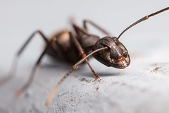 Untitled (sk_husky) Tags: ant insect macro micro bug depthoffield dof canon 6d mpe65 animal outdoor