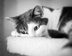 Luna (Alberto Vanoli) Tags: bokeh animals bw photo pet catsdogs