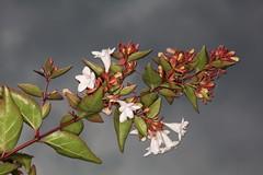 Abelia grandiflora (chug14) Tags: plantae plante flower fleur caprifoliaceae abelia abeliaxgrandiflora abeliagrandiflora unlimitedphotos