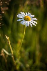 2I9A9062 (topikosunen) Tags: flower flowerphotography daisy macr macro finland suomi canon 50mf18 50mmf18