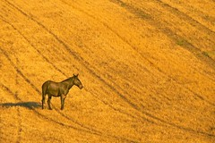 Horse on Harvested Field 159 C (jim.choate59) Tags: horse field sunrise harvested golden earlymorning jchoate magichour goldenhour wascocounty oregon rural dufur fieldpatterns croppatterns stubble wheat summer gold monochrome scenic dufuroregon centraloregon coolpix b700