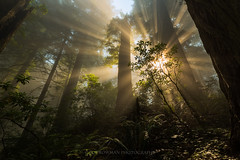 Epiphany (Bob Bowman Photography) Tags: forest redwoods tree mist fog light beams morning ferns rhododendron rays green redwoodnationalpark northerncalifornia california delnorte