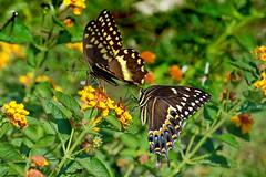 Male Black Swallowtails (Jim Atkins Sr) Tags: easternblackswallowtail papiliopolyxenes americanswallowtail parsnipswallowtail butterfly fairfieldharbour northcarolina lantana insect