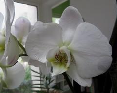 Au jardin d'hiver, orchidée, Bosdarros, Béarn, Pyrénées Atlantiques, Aquitaine, France.