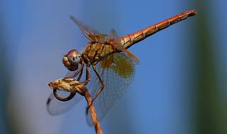 Dragon Fly (Macro)