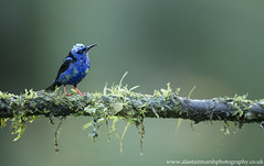 Red-Legged Honeycreeper (Alastair Marsh Photography) Tags: redleggedhoneycreeper redleggedhoneycreepers honeycreeper honeycreepers bird birds animal animals animalsintheirlandscape wildlife perch costarica rainforest rain rainfall feathers forest feather caribbean jungle tropical