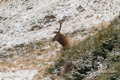 Elk bull hanging out in the fresh snow