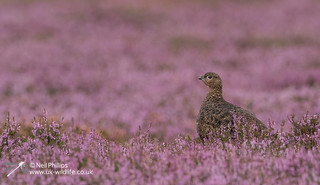 Red grouse-6
