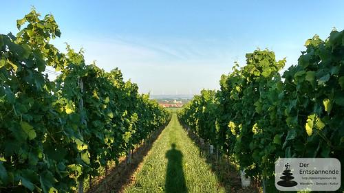 In den Weinbergen über Selzen