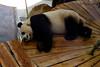 Rhenen - Ouwehands Zoo 2017-8567 (Quistnix!) Tags: 2017 ouwehandszoo dierenpark zoo pandaverblijf panda reuzenpanda ailuropodamelanoleuca xingya