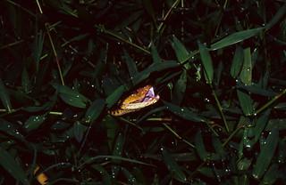 Fer-de-Lance (Bothrops asper) hidden in the grass ...