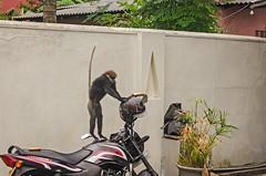 20170615-DSC_0021-(2) (sam-714) Tags: monkey ape simian animal steal feed srilanka india village yard thief nourish subsist foster invasion wild infestation irruption wander tropic tourism inroad bread jump fast quick rapid prompt