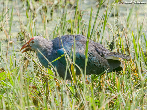 """Grey-headed Swamphen • <a style=""""font-size:0.8em;"""" href=""""http://www.flickr.com/photos/59465790@N04/36617770430/"""" target=""""_blank"""">View on Flickr</a>"""