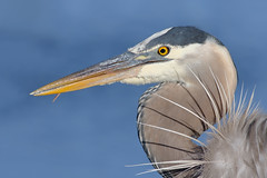 Portrait of a GBH (bmse) Tags: portrait great blue heron bolsa chica canon 7d2 400mm f56 l bmse salah baazizi wingsinmotion