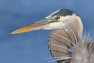 Portrait of a GBH