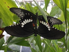 Horniman butterflies mating 2 (Inkysloth) Tags: butterfly butterflies insect insects invertebrate lepidoptera animal horniman hornimanmuseum caterpillar bug