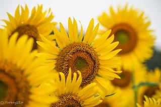 2017 Sunflower #5
