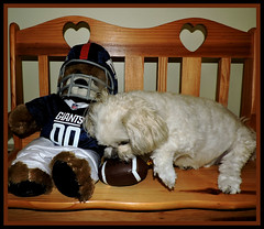 Bella Is Looking Forward To Preseason Games (marilyntunaitis) Tags: football nygiants dog pet bella stuffedanimal plush teddybear