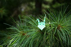 Paper Crane and Pinus koraiensis (Ichigo Miyama) Tags: ツルとチョウセンゴヨウ papercrane pinuskoraiensis origami おりがみ ツル 折り紙 折り鶴 paper チョウセンゴヨウ flower マツorigami 花 マツ