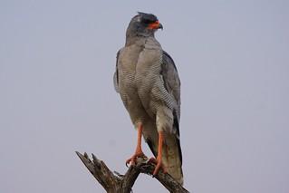 (Southern) Pale Chanting Goshawk
