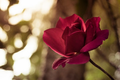 Sony a7 50mm (Jasrmcf) Tags: ilce7 sel50f18f sony sonya7 sonyalpha macro macros macrotube smooth blur dof 50mm 50mm18 sony50mm roses rose red petals flower flowers garden nature ngc greatphotographers colourartaward beautiful