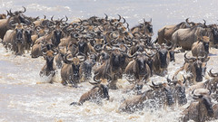 Wildebeest crossing the Mara River - Tanzania (twohamstersca) Tags: africa tanzania safari migration marariver crossing wildlife nature canon5d