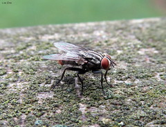 Red-Tailed Flesh Fly (Lisa Zins) Tags: lisazins tn tennessee insects fly bug redtailedfleshfly red tailed flesh sarcophaga haemorrhoidalis entomology arthropoda arthropod diptera pest forensic canon sx150 macro disease carrier connection macromondays monday september4 2017 connected
