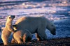 Arctic family  #0103605 (izurutoki) Tags: polarbear arctic climatechange arcticnationalwildliferefuge polarbearcubs alaska alasakasarctic midnightsun シロクマ ホッキョクグマ arcticwildlife