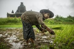 Mrauk U (carbajo.sergio) Tags: myanmar burma woman villlage rice field temple mrauku mrauk u oo