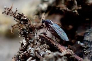 Dark-winged Fungus Gnat Sciaridae