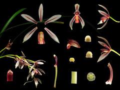 Orchidaceae Cymbidium dayanum