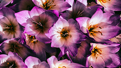 Colchicum speciosum (Francis Mansell) Tags: colchicum colchicumspeciosum flower stamen anther plant kewgardens kew royalbotanicgardenskew alpinehouse nikanalogefexpro2 pollen
