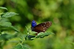ツマムラサキマダラ (yuki_alm_misa) Tags: ツマムラサキマダラ 蝶 チヨウ 多摩動物公園 butterfly 蝶々 zoo 動物園 tamazoologicalpark