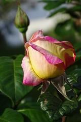 boccioli (fotomie2009) Tags: rosa rose bud bocciolo flower fiore flora buds