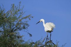 _MG_5446bis (Henri Rambaud) Tags: oiseau aigrette alsace faune