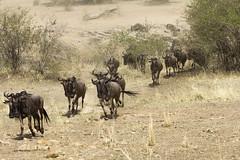 Migracao GNU - Travessia do Rio Mara 30 (Joao Pena Rebelo) Tags: tanzania gnus wildebeest migration safari serengeti wildebeests marariver