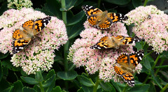 This sedum plant attracts many butterflies and other insects (ali eminov) Tags: wayne nebraska plants floweringplants flowers butterfly sedum animals insects butterflies paintedladybutterflies vanessacardui