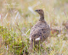 Rock Ptarmigan (Lagopus muta) (George Wilkinson) Tags: rock ptarmigan hrisey northern north iceland lagopus muta lagopusmuta grouse bird wildlife europe canon 7d 400mm