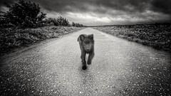 Totoro running in the rain ☔ 🐶 (Jos Mecklenfeld) Tags: totoro dutchshepherddog dutchshepherd shepherd shepherddog hollandseherder hollandseherdershond herder herdershond landscape landschap clouds wolken rain regen dog hond hund puppy