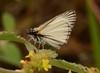 Heliopetes arsalte (Linnaeus, 1758) (robertoguerra10) Tags: heliopetes arsalte pyrginae hesperiidae