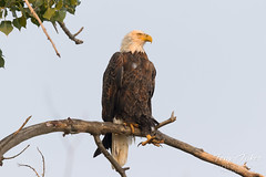 Beautiful female Bald Eagle in the filtered light