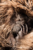 Dave Fenton-2781 (Dave Fenton) Tags: harddrive show hedgehog nature mammal small macro sleeping defence curled wildlife spikes claws nose