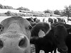 Photobombed (Gilder Kate) Tags: bullock ousevalley balcombe ardingly cows tagged eastsussex panasoniclumixdmctz70 panasoniclumix panasonic lumix dmctz70 tz70 cow bullocks blackandwhite monochrome