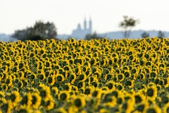 0582 The Famous Outline Of My Hometown (Hrvoje Simich - gaZZda) Tags: yellow field sky flowers landscape color outdoors summer beautiful foliage natural nature green sunflowers nopeople nikon nikond750 sigma150500563 gazzda hrvojesimich