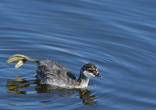 Eared Grebe Chick Stretching It Out, Getting Ready for Monday 😀 - 5748b+